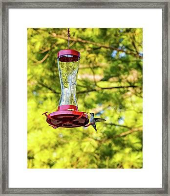 Ruby-throated Hummingbird 2 Framed Print by Steve Harrington