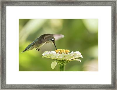 Ruby Throated Hummingbird 2016-8 Framed Print