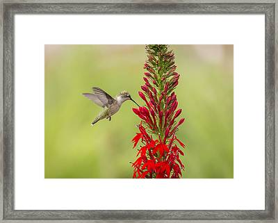 Ruby Throated Hummingbird 3-2015 Framed Print