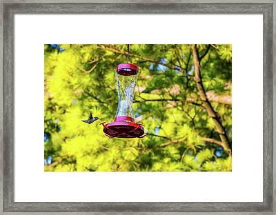 Ruby-throated Hummingbird 3 Framed Print by Steve Harrington
