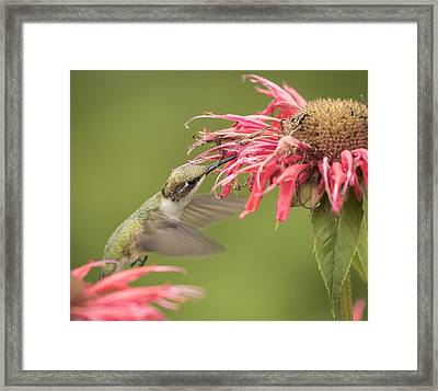 Ruby Throated Hummingbird 4-2015 Framed Print by Thomas Young