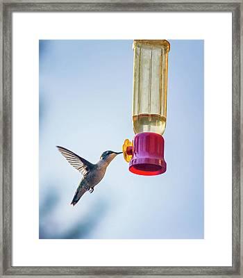 Ruby-throated Hummingbird 4 Framed Print by Steve Harrington