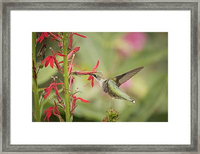 Ruby Throated Hummingbird 5-2015 Framed Print