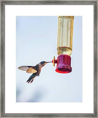 Ruby-throated Hummingbird 5 Framed Print by Steve Harrington