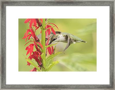 Ruby Throated Hummingbird 6-2015 Framed Print