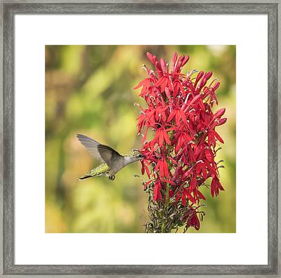 Ruby Throated Hummingbird 8-2015 Framed Print