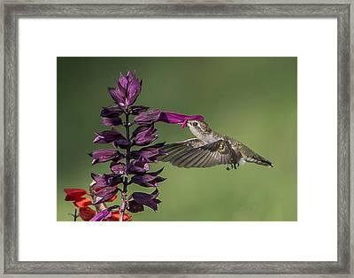 Ruby Throated Hummingbird At Purple Salvia Flower Framed Print