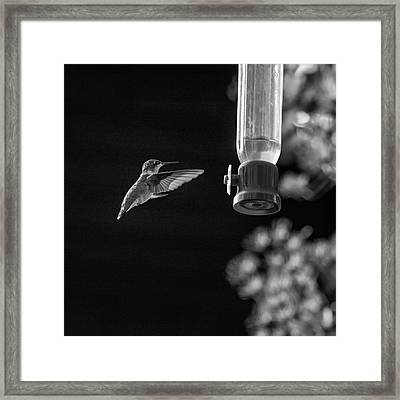 Ruby-throated Hummingbird Bw Framed Print by Steve Harrington
