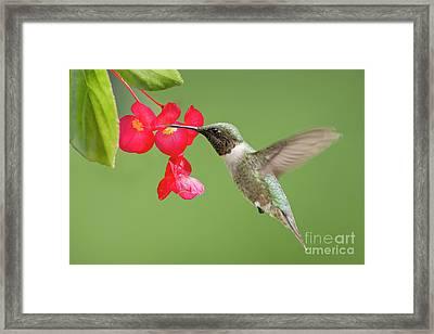 Ruby Throated Hummingbird Feeding On Begonia Framed Print by Bonnie Barry