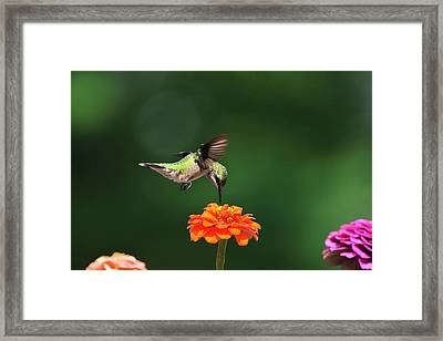 Ruby Throated Hummingbird Feeding On Orange Zinnia Flower Framed Print