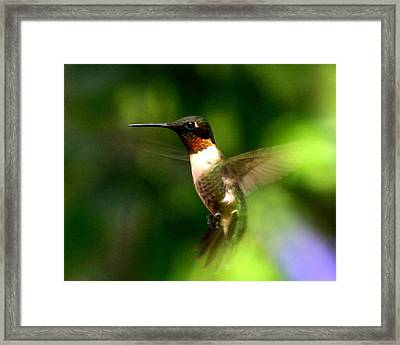 Ruby-throated Hummingbird Framed Print by Fred Baird