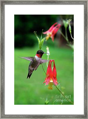 Framed Print featuring the photograph Ruby-throated Hummingbird  Looking For Food by Dan Friend