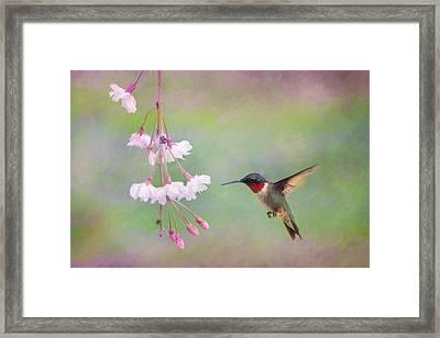 Ruby-throated Hummingbird Framed Print by Lori Deiter