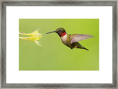 Ruby-throated Hummingbird Framed Print