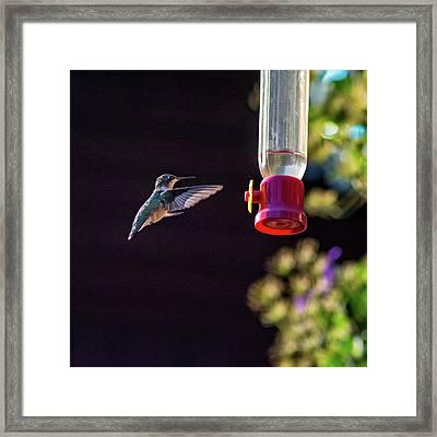 Ruby-throated Hummingbird Framed Print by Steve Harrington