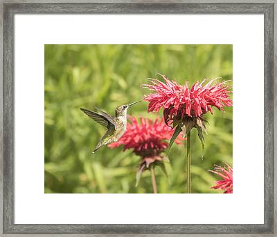 Ruby Throated Hummingbird Framed Print by Thomas Young