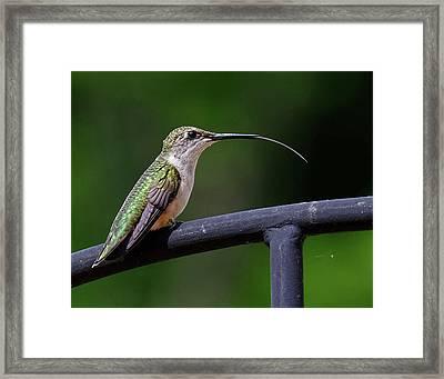 Ruby-throated Hummingbird Tongue Framed Print
