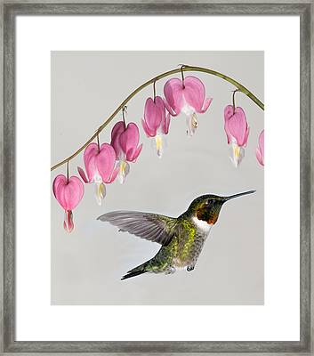 Framed Print featuring the photograph Ruby-throated Hummingbird With Bleeding Hearts by Lara Ellis