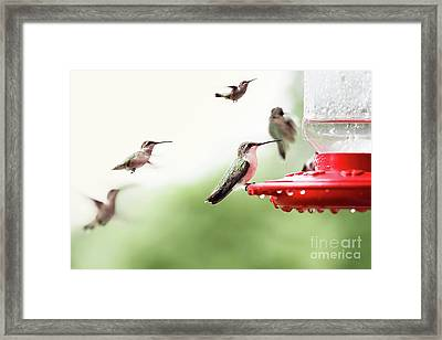 Framed Print featuring the photograph Ruby-throated Hummingbirds by Stephanie Frey