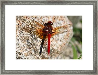 Ruby Framed Print by Tracey Levine