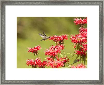 Rubythroated Hummingbird 2014-5 Framed Print by Thomas Young