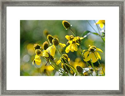 Rudbeckia 'autumn Sun' Framed Print by Jennifer Booher