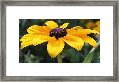 Rudbeckia Bloom Up Close Framed Print