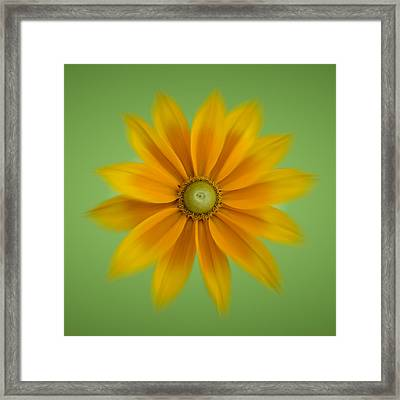 Rudbeckia Blossom Irish Eyes - Square Framed Print