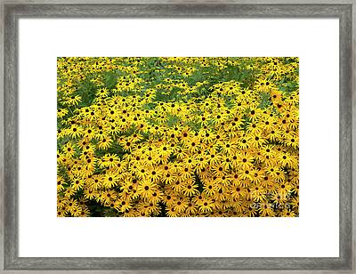 Rudbeckia Fulgida Deamii Flowers Framed Print by Tim Gainey