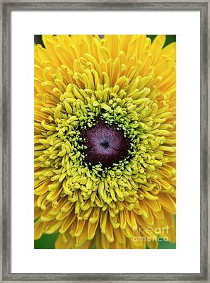 Rudbeckia Hirta Maya Framed Print by Tim Gainey