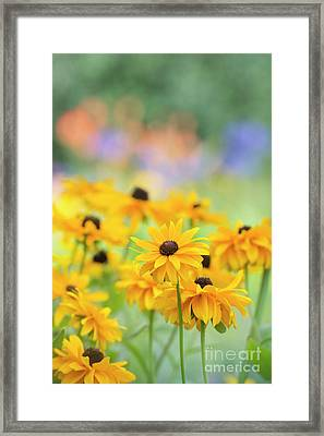 Rudbeckia Indian Summer Flowers Framed Print by Tim Gainey