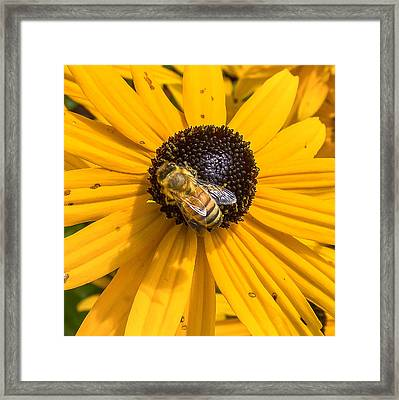 Rudbeckia With Bee Framed Print