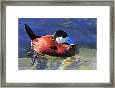 Ruddy Duck 2 Framed Print