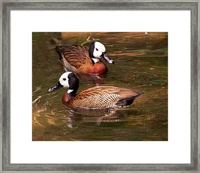 White-faced Whistling Duck Framed Print