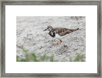 Ruddy Turnstone Foraging On The Beach Framed Print