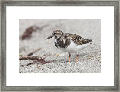 Ruddy Turnstone On The Beach Framed Print