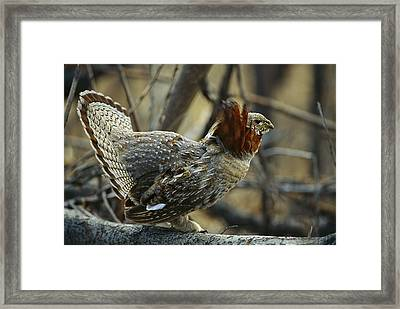 Ruffed Grouse Bonasa Umbellus Male Framed Print