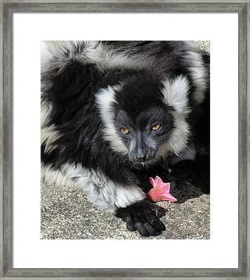 Ruffed Lemur With Pink Flower Framed Print by Margaret Saheed