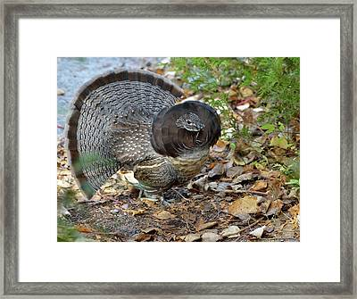 Ruffed Up- Ruffed Grouse Displaying Framed Print by David Porteus