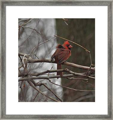 Ruffled Feathers Framed Print by Maria Suhr