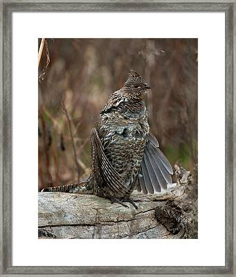 Ruffled Grouse Drumming Framed Print by Gary Langley