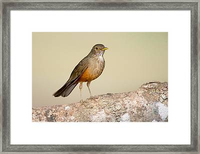 Rufous-bellied Thrush Turdus Framed Print