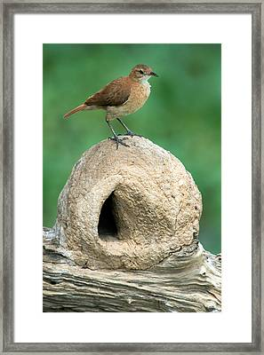 Rufous Hornero Furnarius Rufus On Nest Framed Print