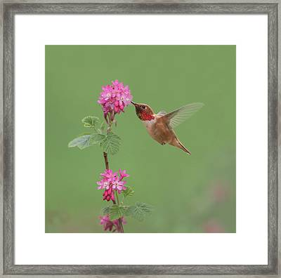Rufous Hummingbird Enjoying Sweet Nectar Framed Print
