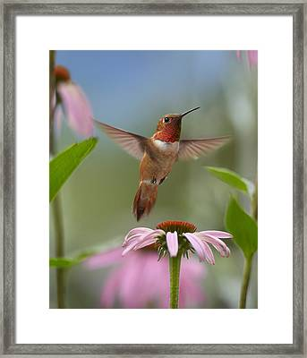 Rufous Hummingbird Male Feeding Framed Print