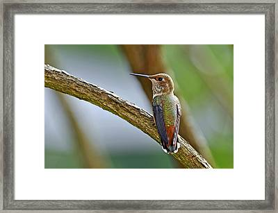 Rufous Hummming Bird In Detail II Framed Print by Laura Mountainspring