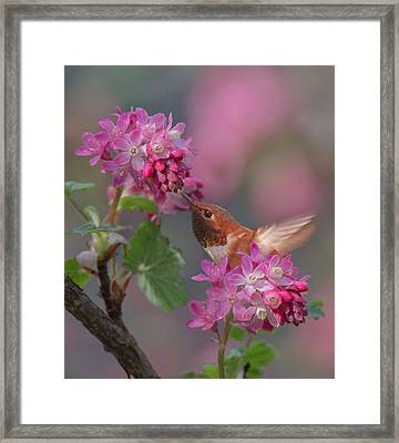 Rufous In The Currant Framed Print by Angie Vogel