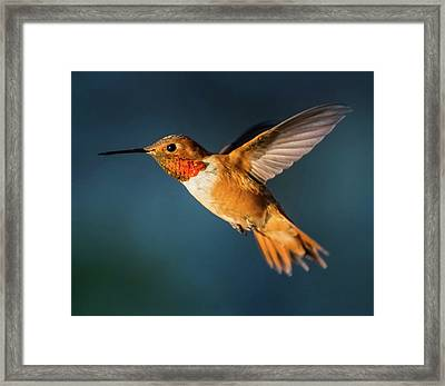 Rufous Framed Print by Martina Thompson