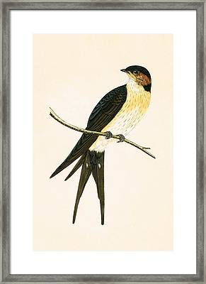 Rufous Swallow Framed Print by English School