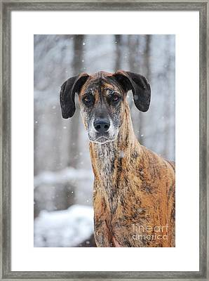 Framed Print featuring the photograph Rufus Dagoofus Great Dane by Lila Fisher-Wenzel